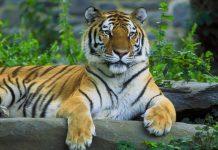 Mơ thấy con hổ có phải là điềm xấu và đánh số nào chuẩn?