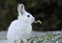 Mơ thấy thỏ trắng